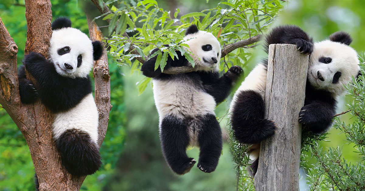 Pandy v ZOO