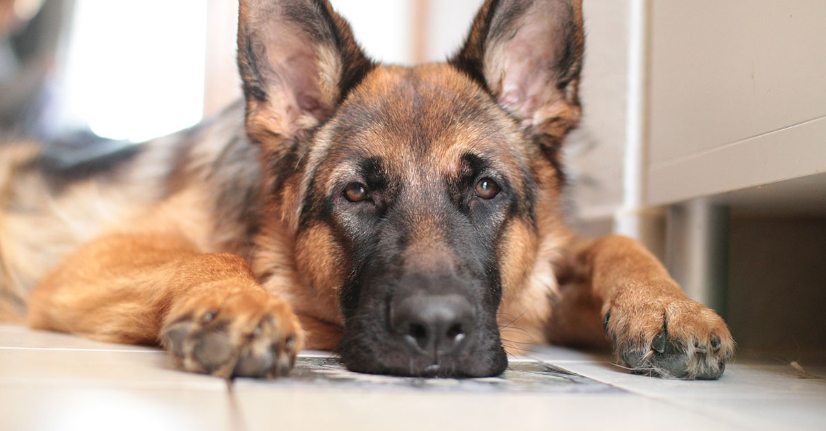 Nemecký ovčiak, pes a koronavírus - COVID-19