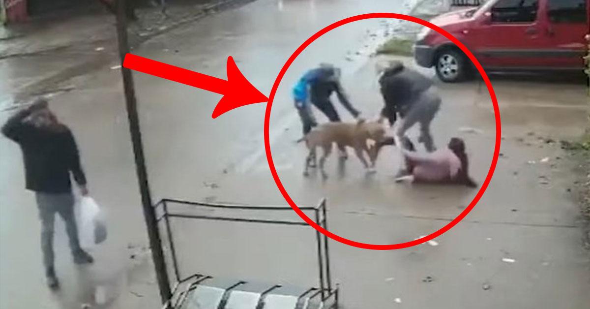 Útok pitbulla