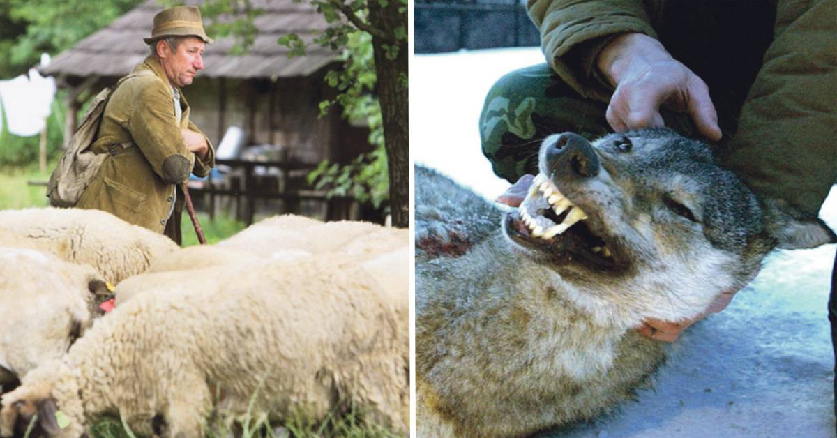 Vlk dravý - Zákonom chránený