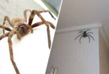 Photo of Muž nechal pavúka žiť rok vo svojom dome